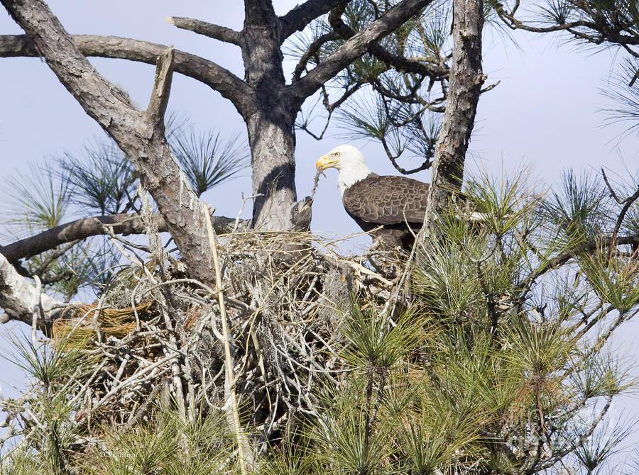 Eagles Photograph - Feeding Little One by Deborah Benoit