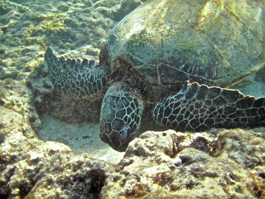 Big Photograph - Feeding Sea Turtle by Michael Peychich