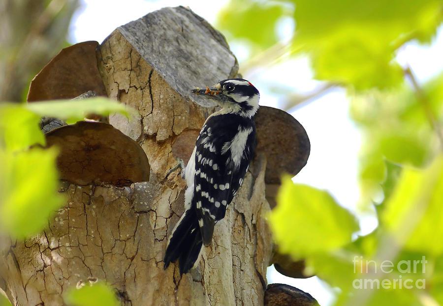 Downy Woodpecker Photograph - Feeding Time by David Lee Thompson