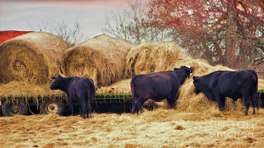 Cow Photograph - Feeding Time by Karen Beasley