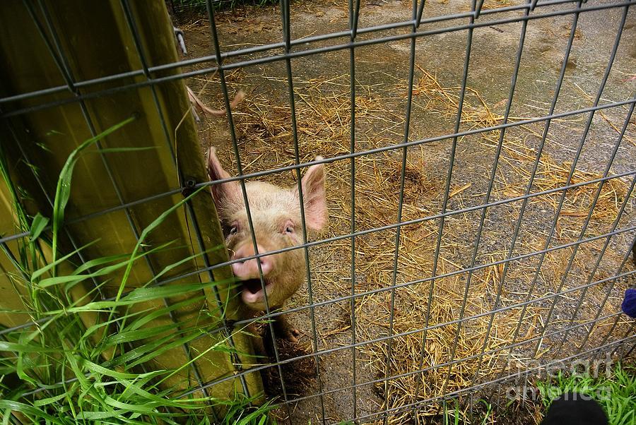 Pig Photograph - Feeding Time by Oscar Moreno