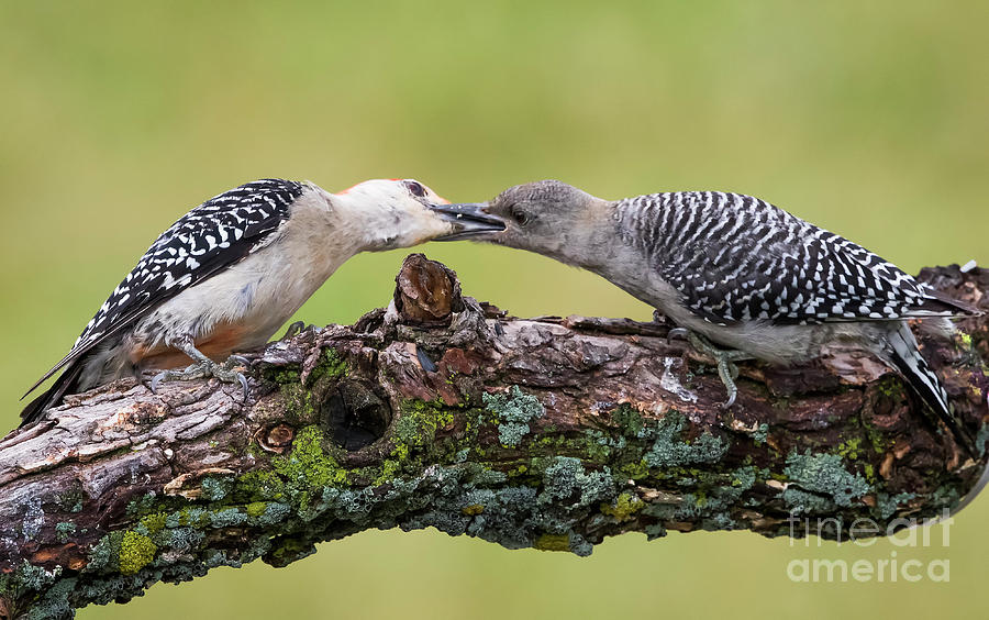 Canon Photograph - Feeding Time by Ricky L Jones