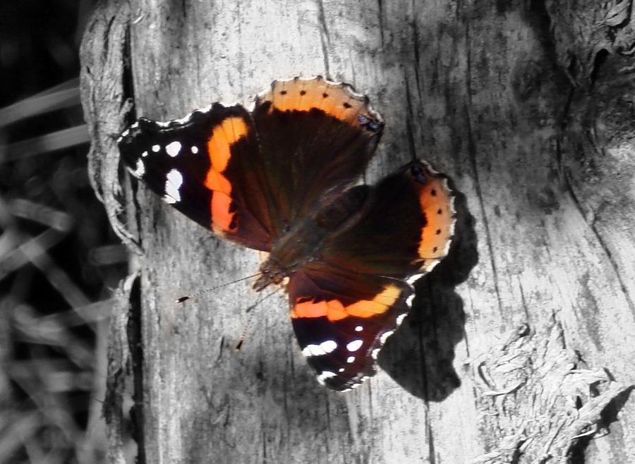 Butterfly Photograph - Feileacan  by Scot Johnson