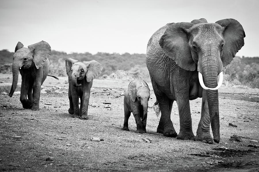 Horizontal Photograph - Female African Elephant by Cedric Favero
