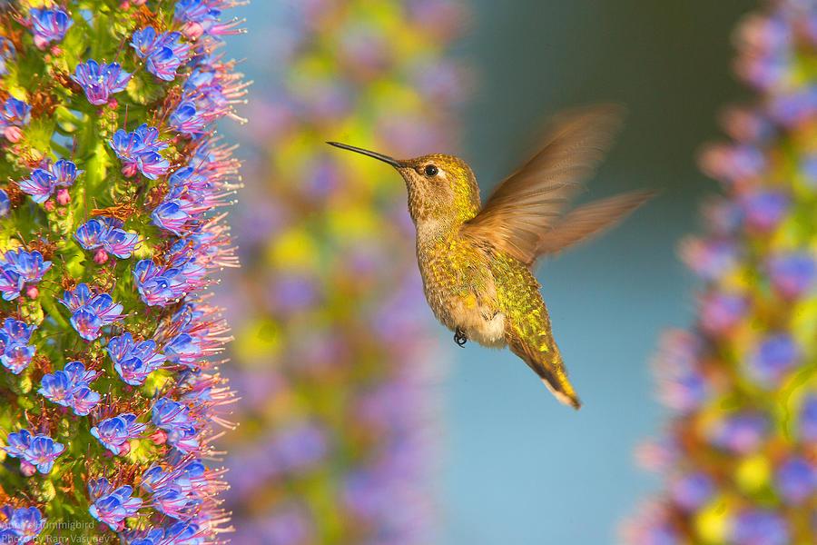 Female Annas Hummingbird Huntington Beach California Photograph