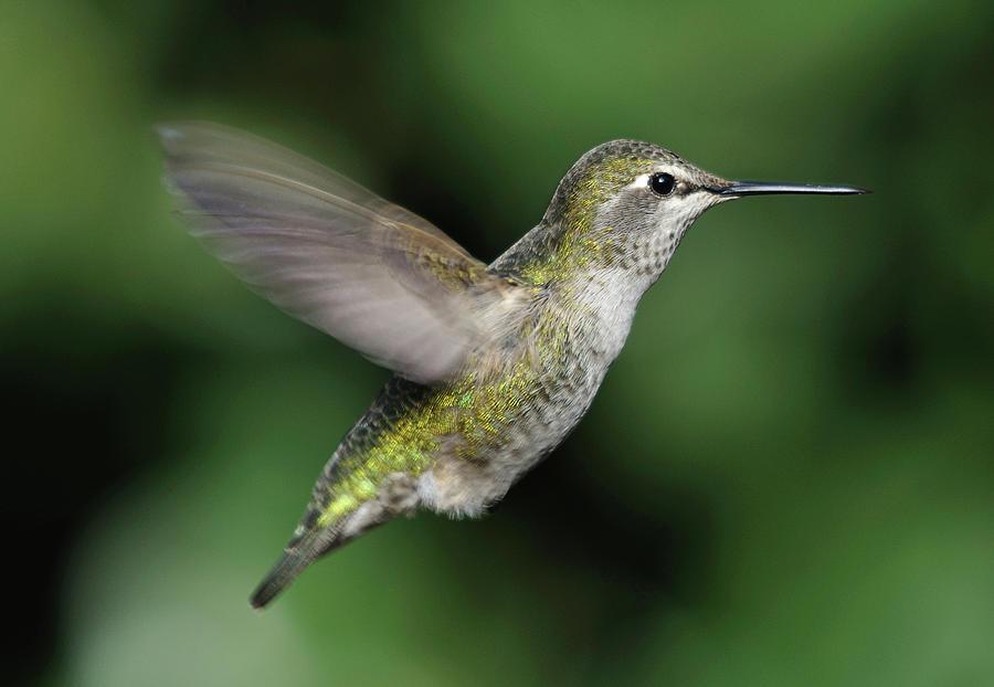Horizontal Photograph - Female Annas Hummingbird In Flight by Barbara Rich