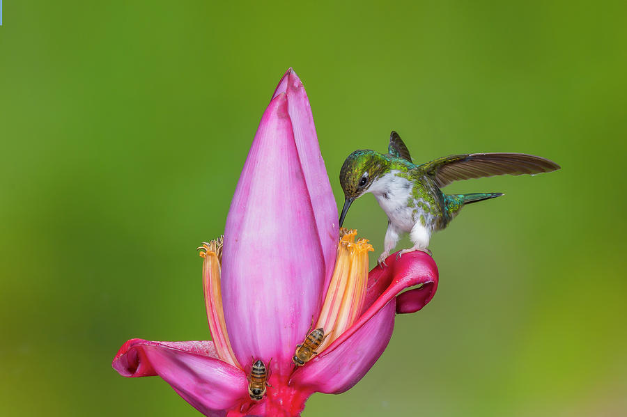Female Booted Racket-tail perched on a banana flower by Jim Frandeen