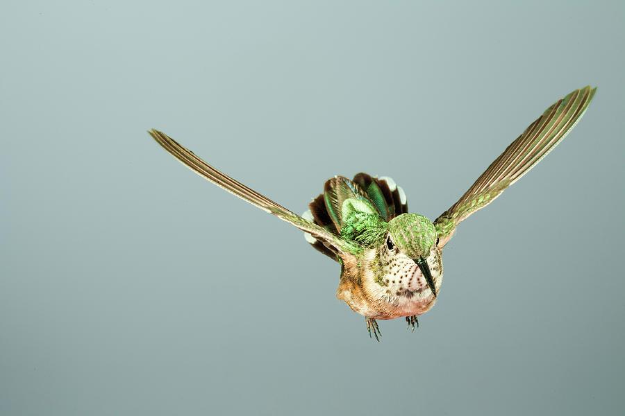 Female Broadbill in Flight by Gregory Scott