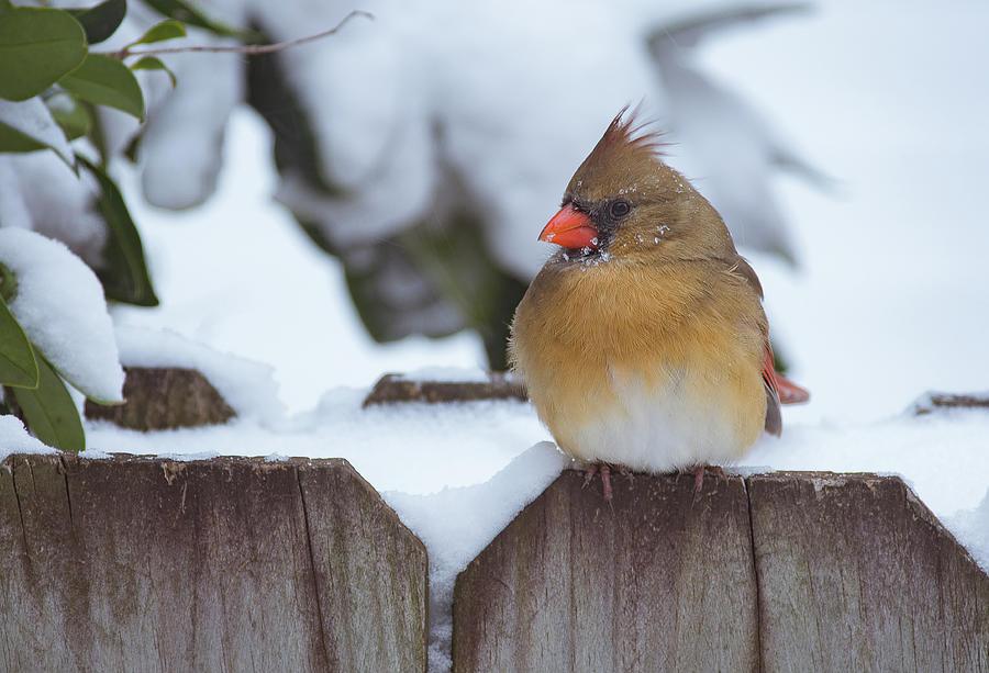 Female Cardinal by Amanda Rimmer