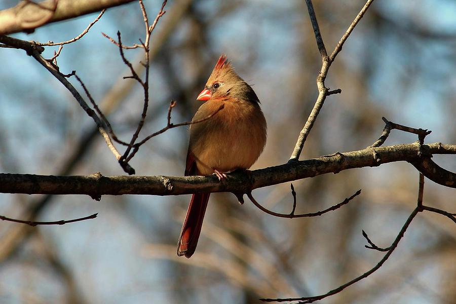 Female Cardinal Photograph - Female Cardinal by Brad Chambers