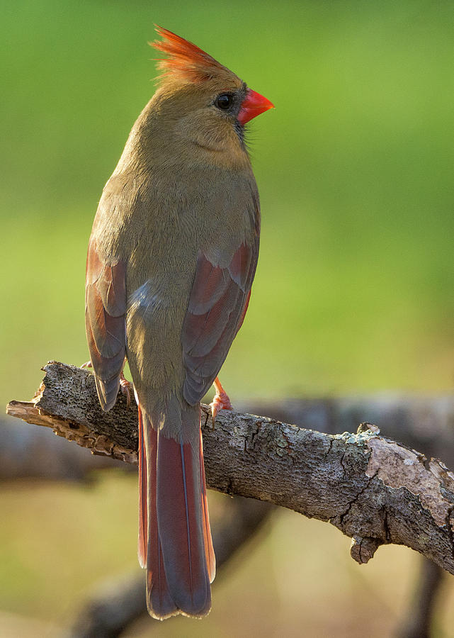 Female Cardinal by David Waldrop
