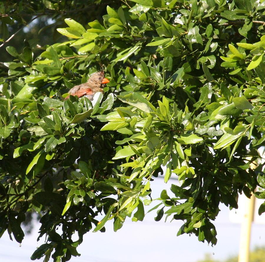 Oak Photograph - Female Cardinal In A Live Oak by Jonathan Kotinek