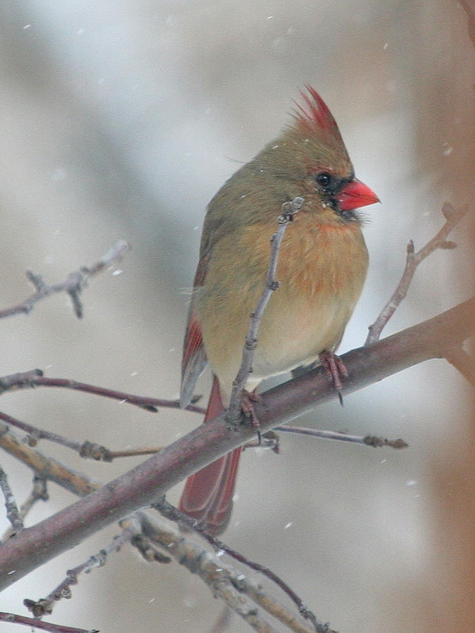Bird Photograph - Female Cardinal In A Tree by Laurie With