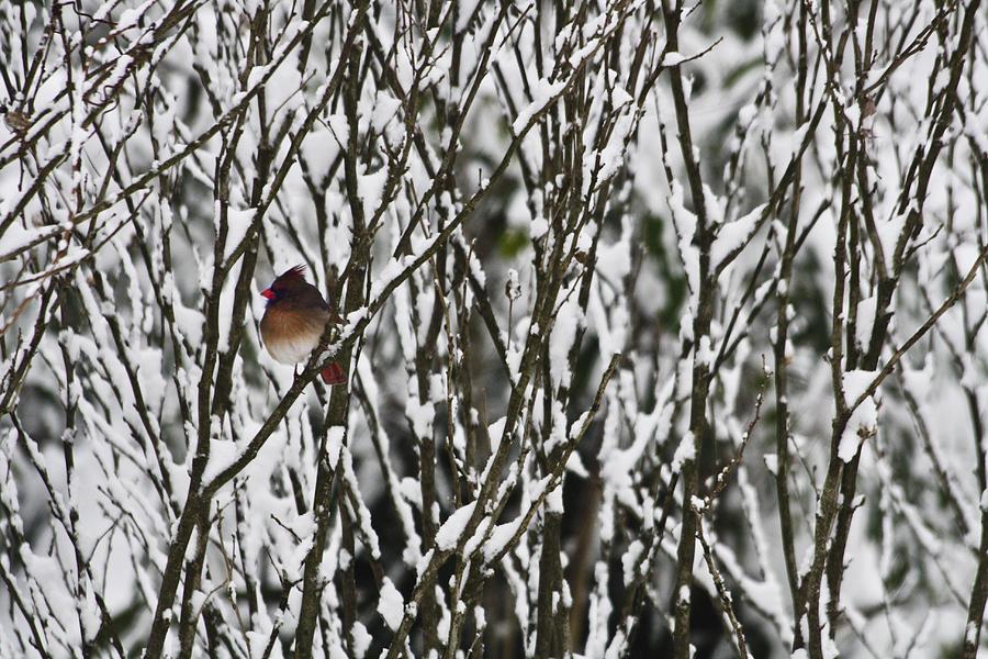 Cardinal Photograph - Female Cardinal In The Snow by Teresa Mucha