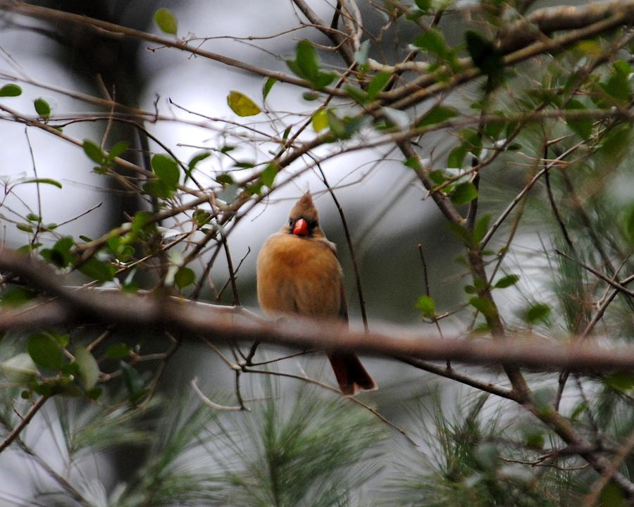 Cardinal Photograph - Female Cardinal by Jai Johnson