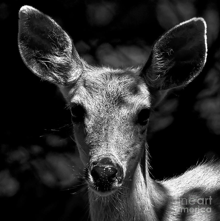 Female deer black and white portrait by sue harper