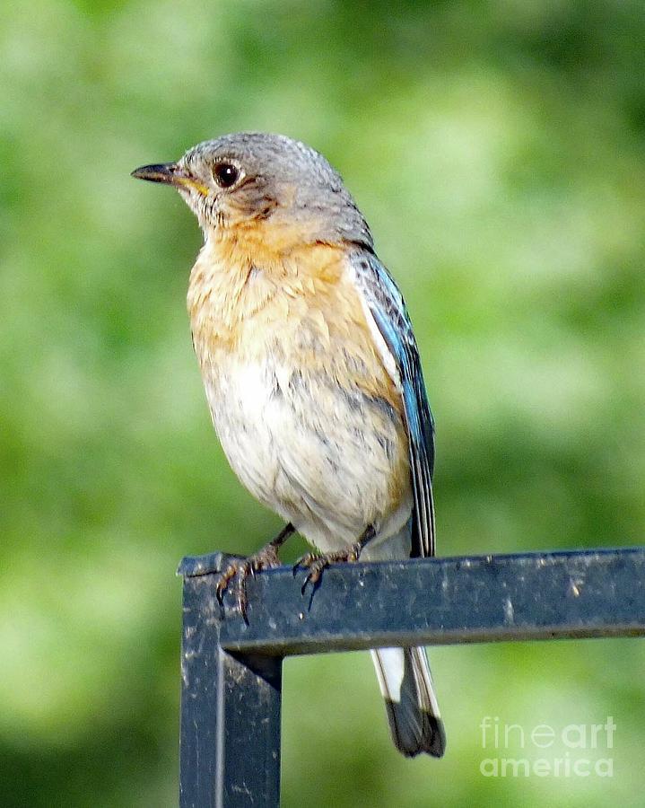 Eastern Bluebird Photograph - Female Eastern Bluebird by Cindy Treger