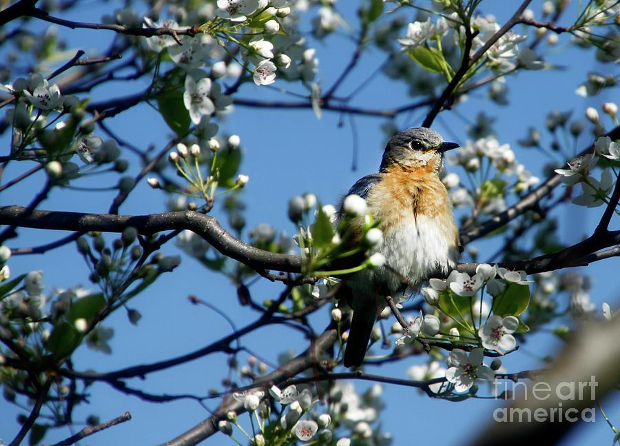 Birds Photograph - Female Eastern Bluebird by David Simons