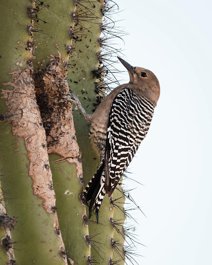 Gila Photograph - Female Gila Woodpecker-img__2691-2016 by Rosemary Woods-Desert Rose Images