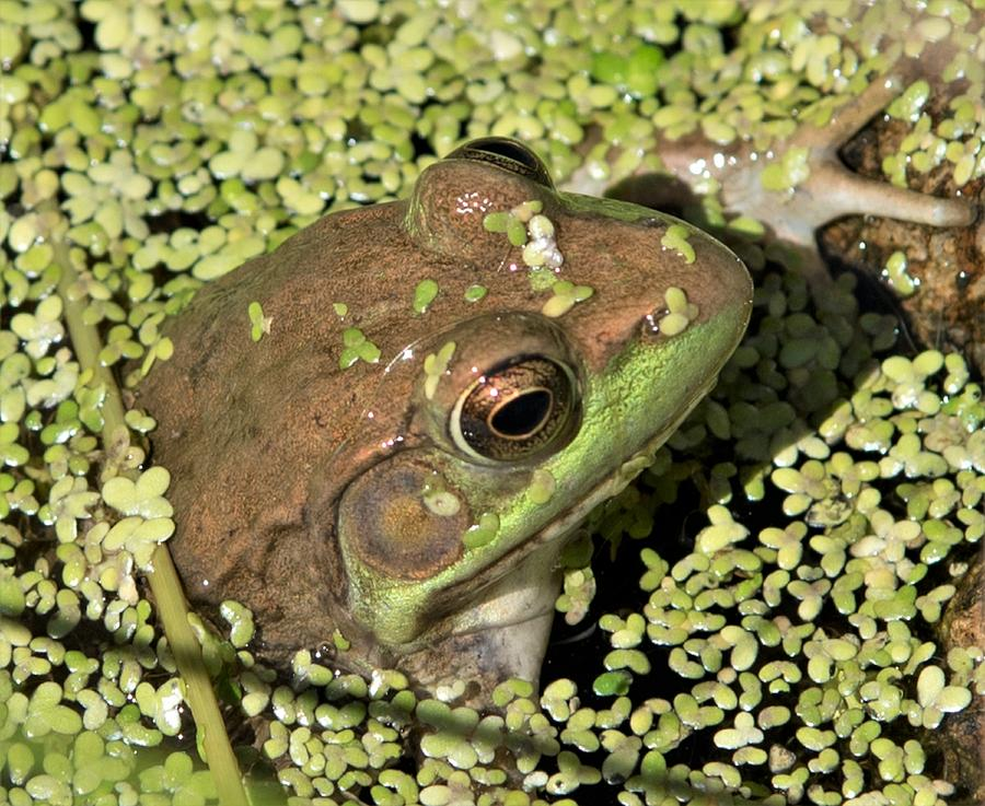 Female green Frog by Michael Hall