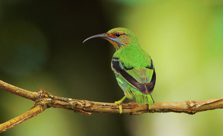 Female Green Honeycreeper at Trinidad's Asa Wright by Steve Wolfe