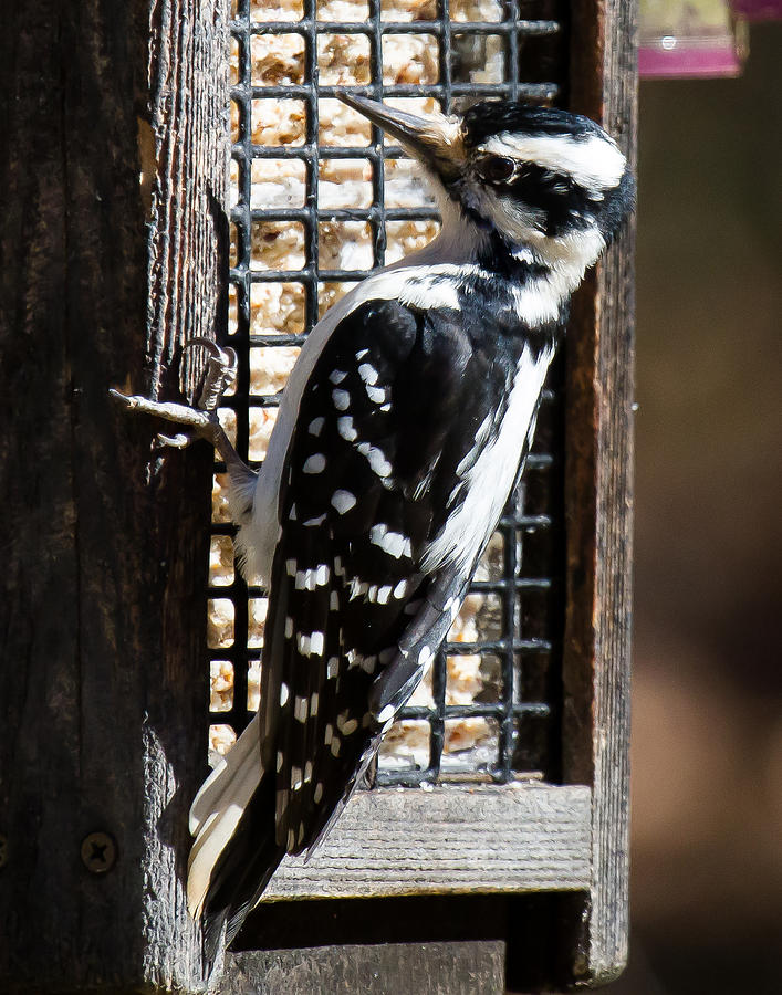 Female Hairy Woodpecker Photograph - Female Hairy Woodpecker by Robert L Jackson