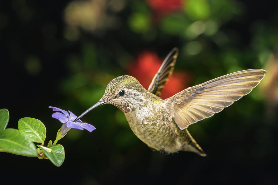 Anna Photograph - Female Hummingbird And A Small Blue Flower Left Angled View by William Freebilly photography