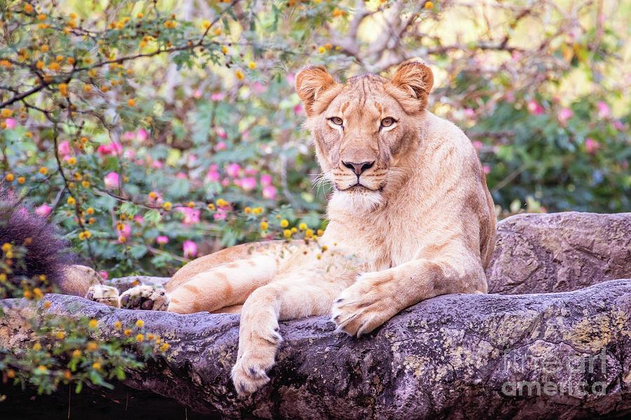 Female lion resting by Stephanie Hayes