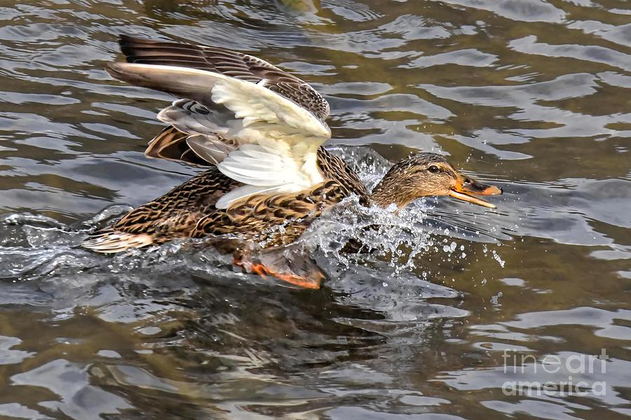 Female Mallard Duck 5261C by Cynthia Staley
