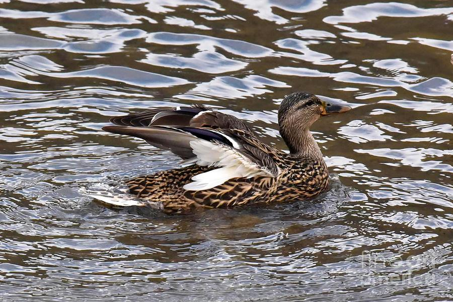 Female Mallard Duck 5306C by Cynthia Staley