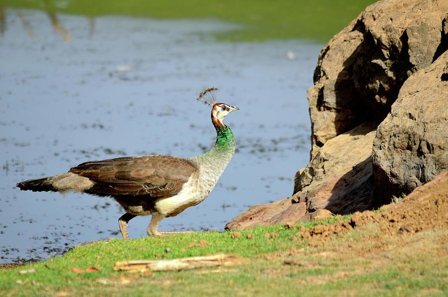Peafowl Photograph - Female Peacock by Manjot Singh Sachdeva