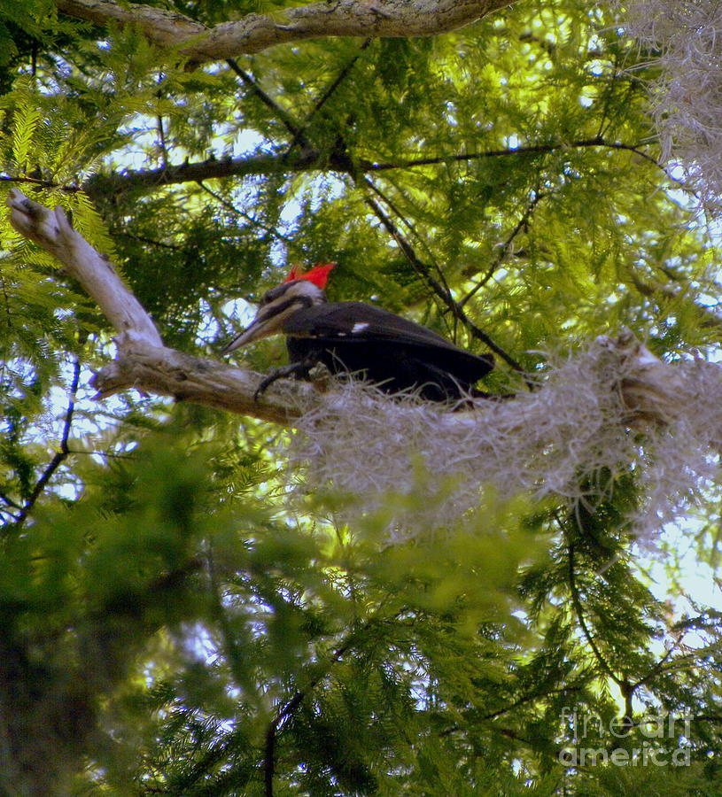 Bird Photograph - Female Pileated Woodpecker by Terri Mills