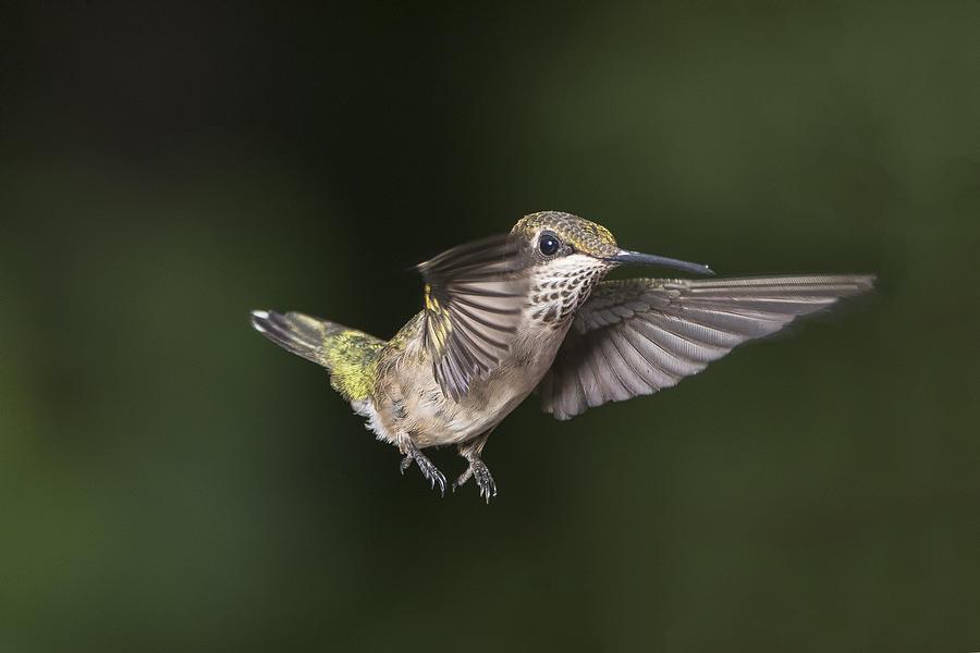 what do female hummingbirds look like