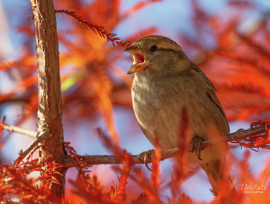 Female sparrow singing, Montreux, Switzerland by Elenarts - Elena Duvernay photo