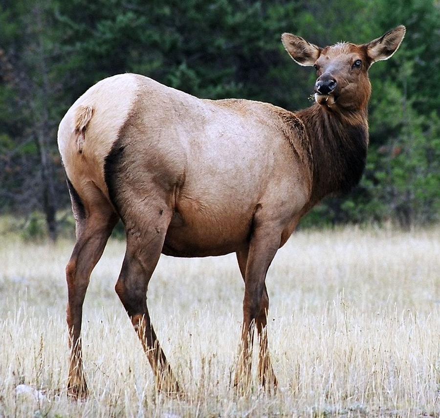 Elk Photograph - Feme Elk by Tiffany Vest