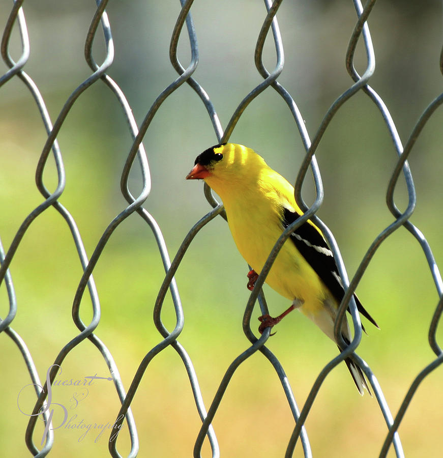 Birds Photograph - Fence And Feathers by Susan Storey