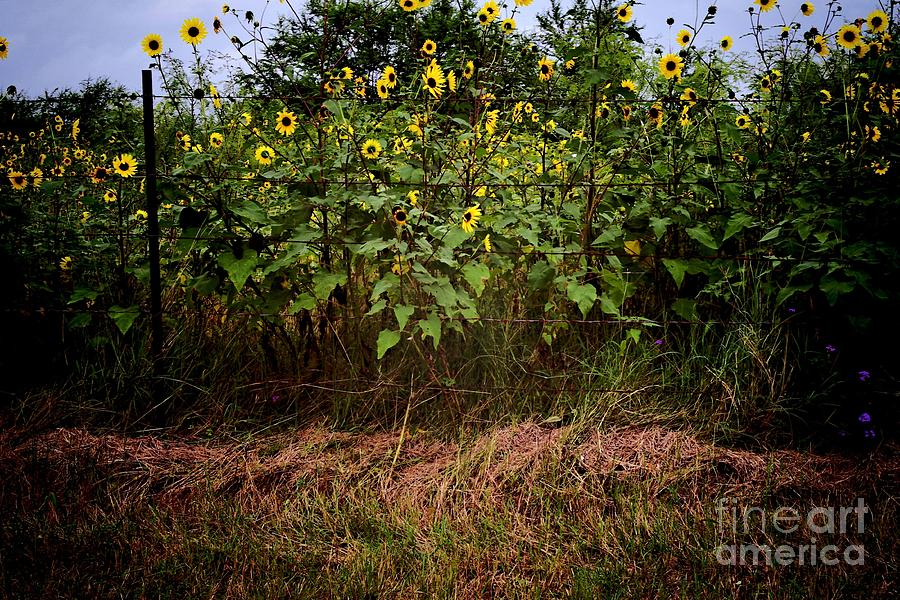 Fence Photograph - Fence Line Sunflowers by Gary Richards