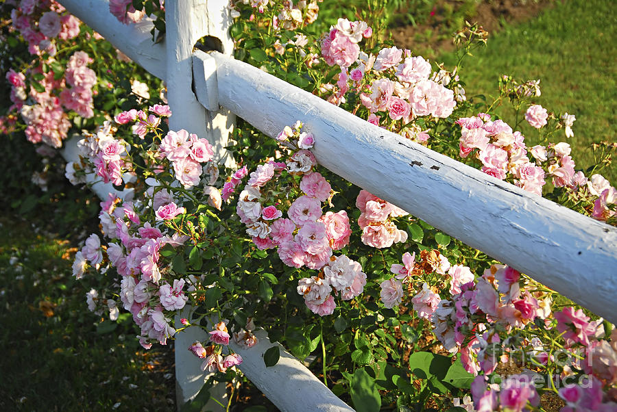 Rose Photograph - Fence With Pink Roses by Elena Elisseeva