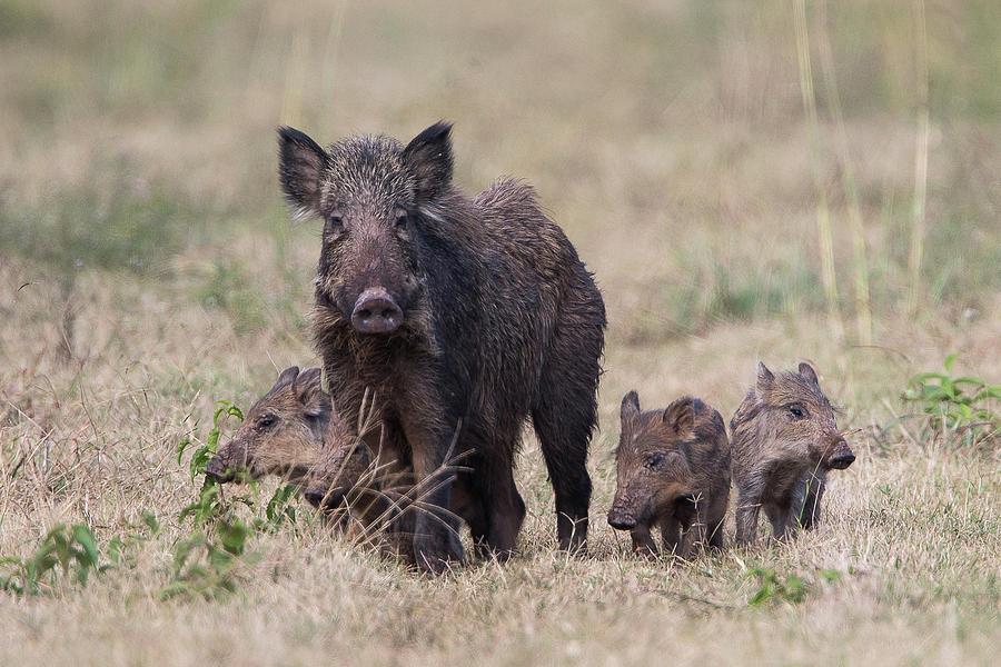 Feral Hog Family Photograph