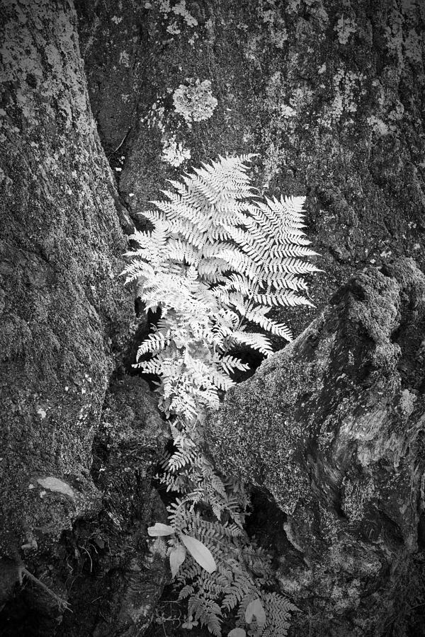 Fern Photograph - Fernglow by Harry H Hicklin