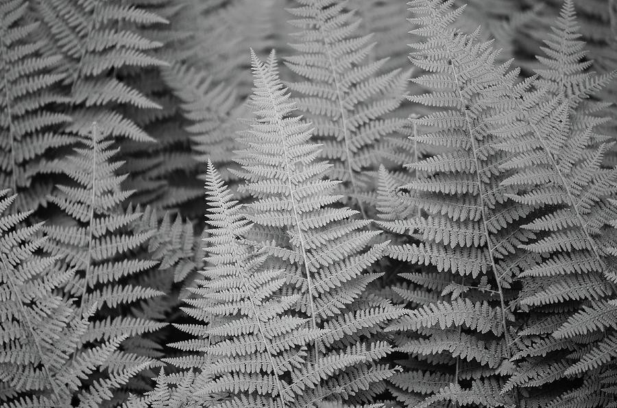 Ferns by Amanda Rimmer