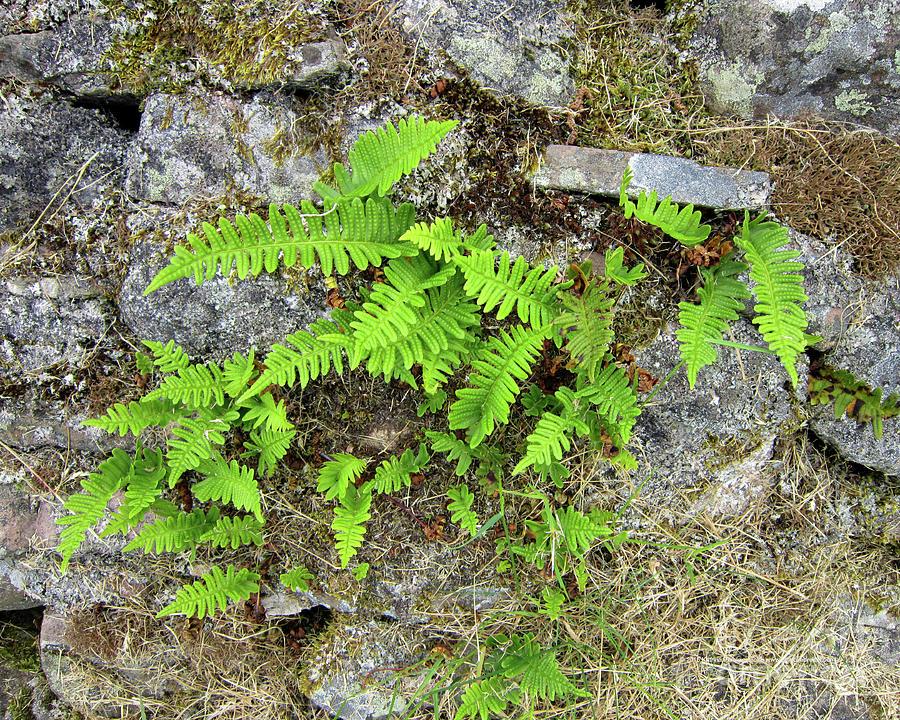 Rock Photograph - Ferns And Stone Wall At Culloden by Katrina Perekrestenko
