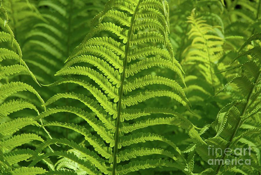 Fern Photograph - Ferns by Josie Elias