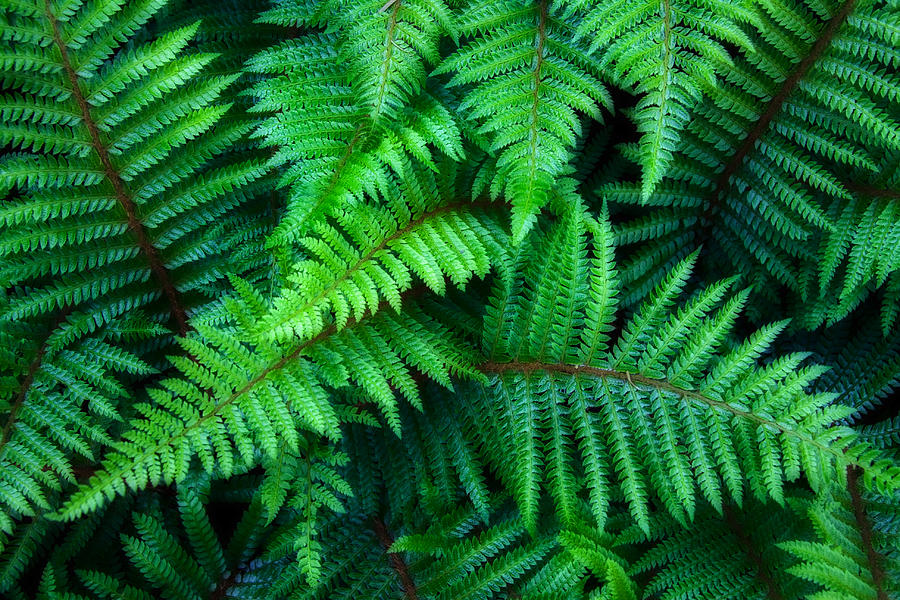 Ferns Photograph - Ferns by June Marie Sobrito