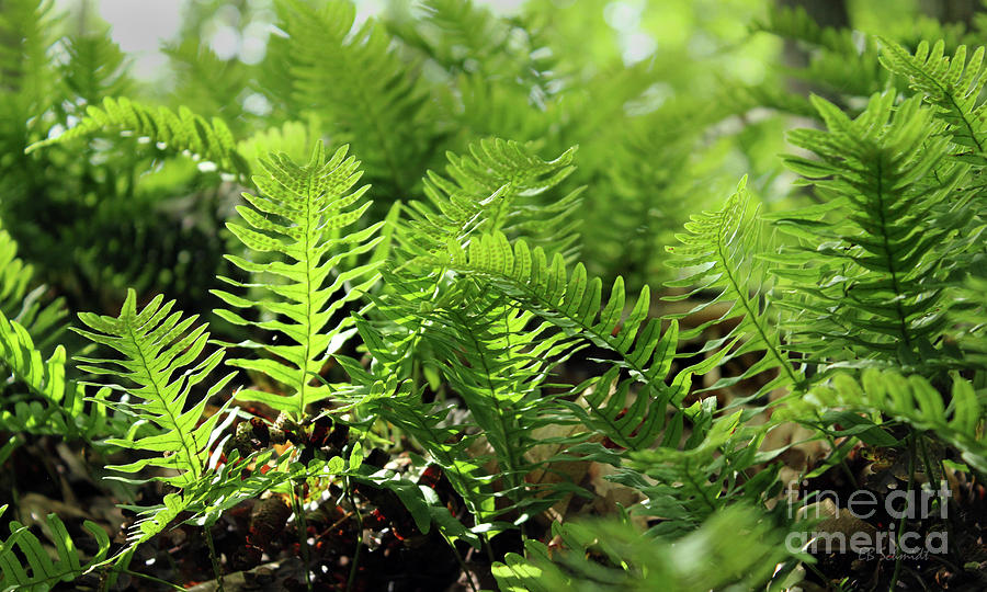 Ferns of the Forest Floor by E B Schmidt