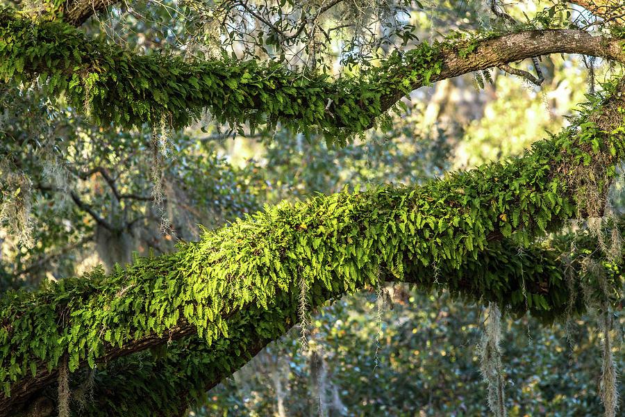 Image Photograph - Ferns On Live Oak by Ryan Stoddard