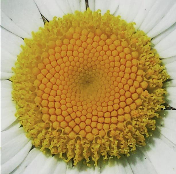 fibonacci flower pyrography by patricia lahuis