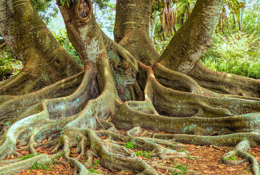 ficus roots photograph by rosalie scanlon