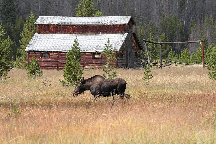 Field Moose Photograph