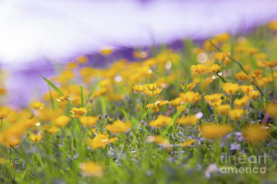 Field Of Buttercups Photograph